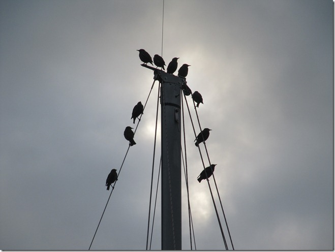 Starlings on a mast