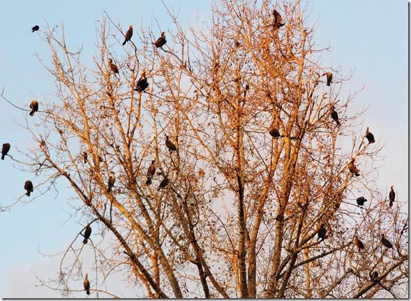 Pelagic Cormorants roosting